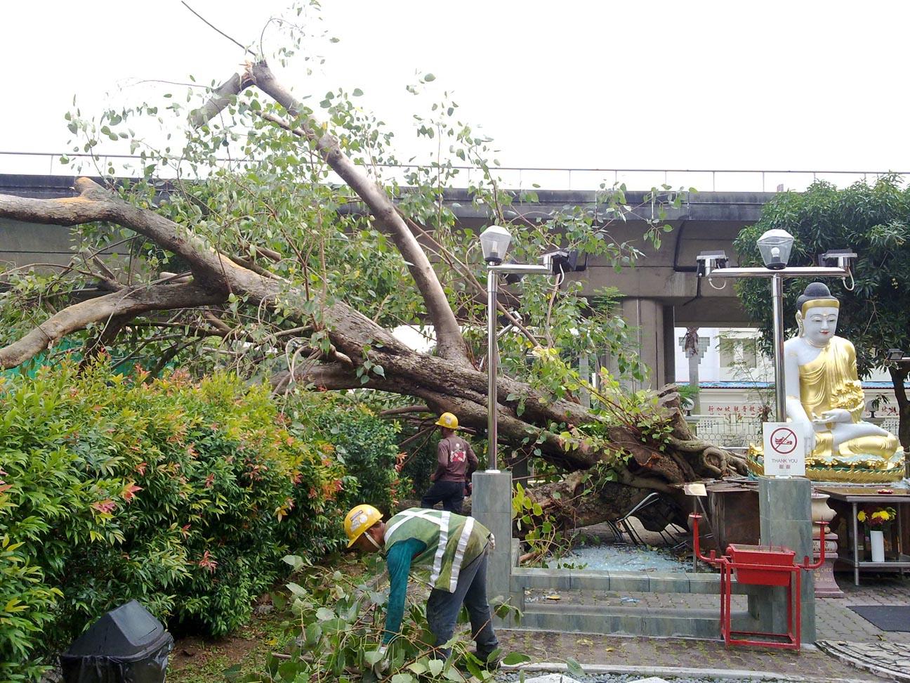Fallen MV Bodhi Tree2